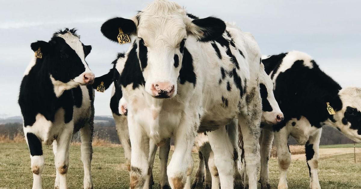Haben Sie Ihren Arm schonmal in einer Kuh gehabt?